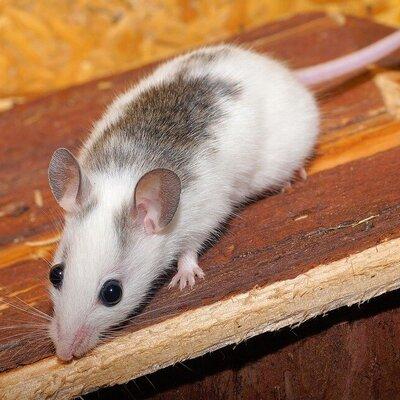 Dierenwelzijn in knaagdierbeheersing - verdienen ratten en muizen niet ook een respectvolle omgang?