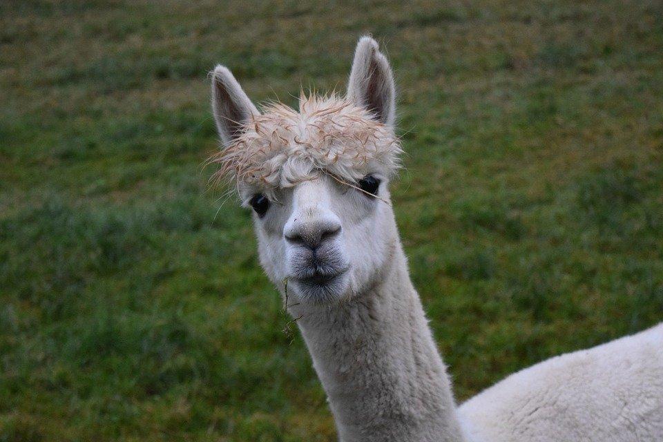Süße Lamas