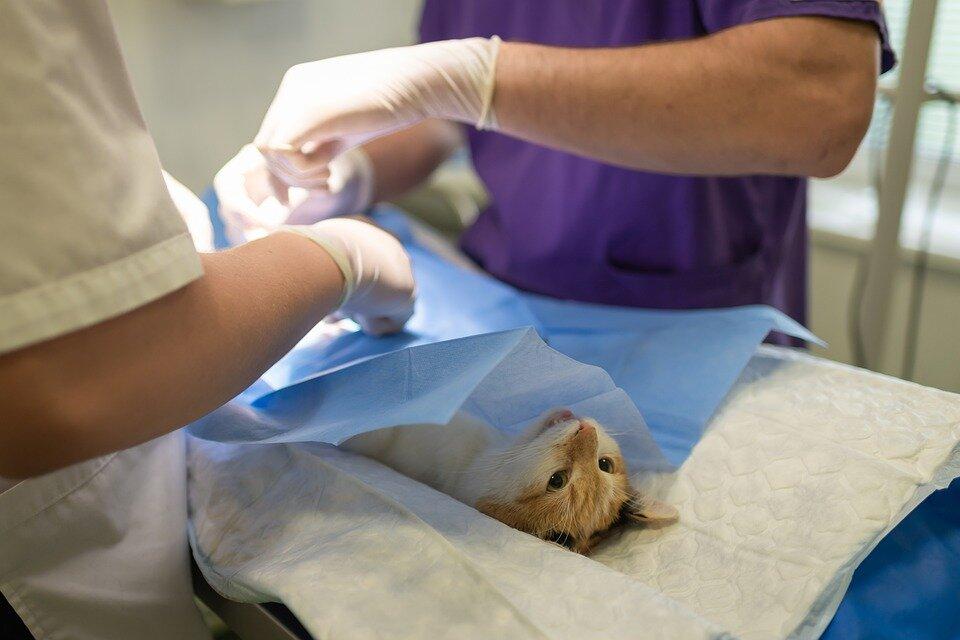 Castreren of steriliseren van een dier