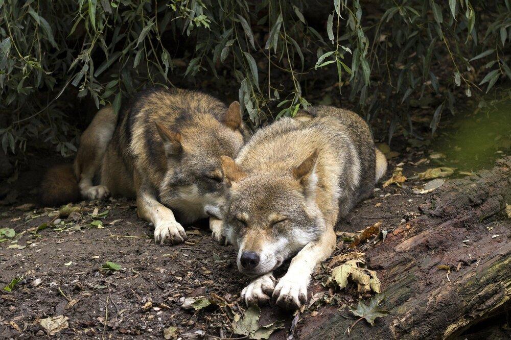 7 weetjes over de Europese wolf