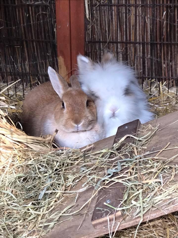 Twee konijnen in een hok