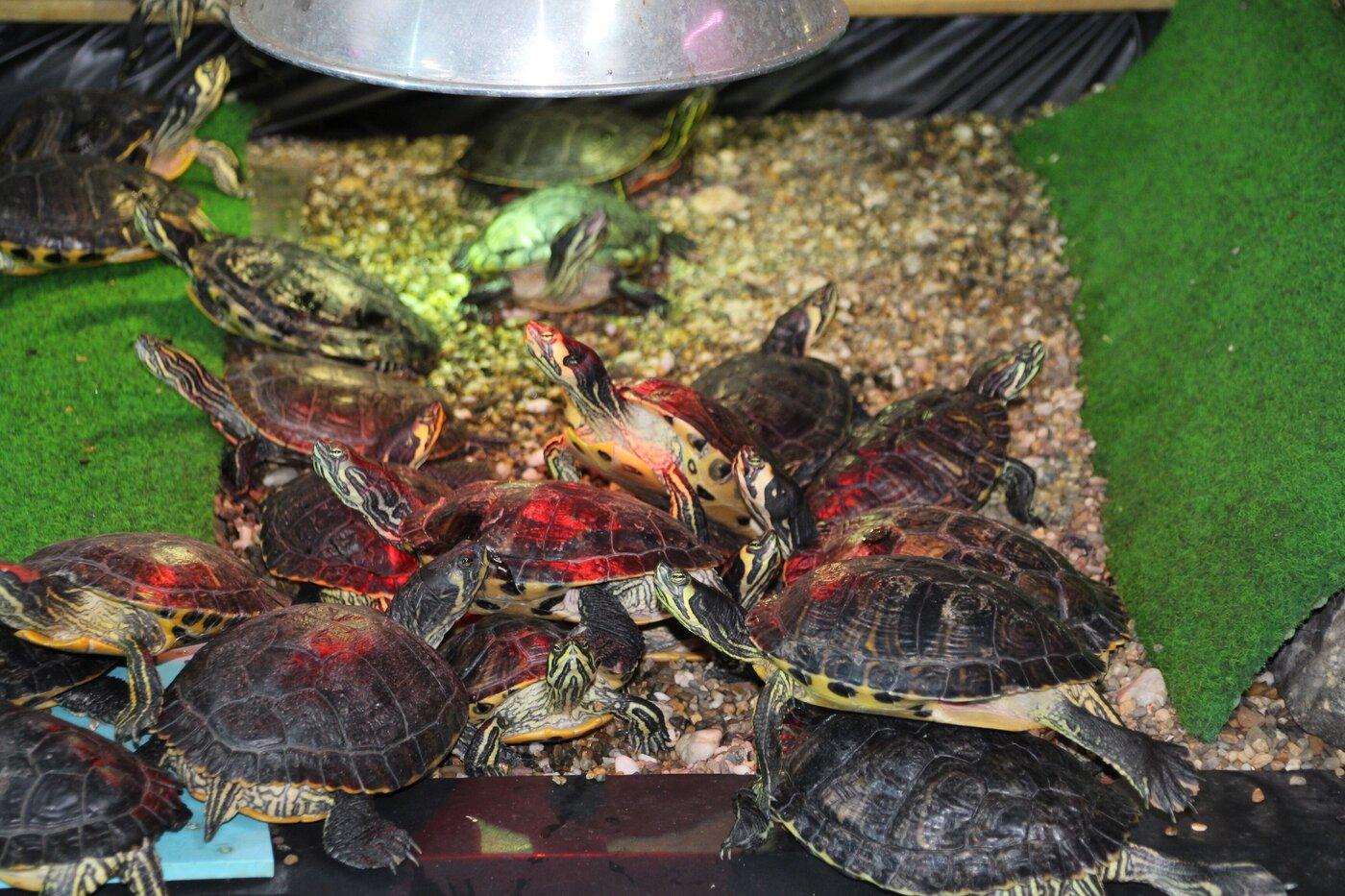 Schildpadden mogen niet meer uitgeplaatst worden