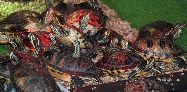 Roodwang schildpadden mogen op dit moment niet meer uitgeplaatst worden en blijven dus voor altijd in de overvolle opvang